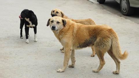 Губернатор избавится  от бродячих собак