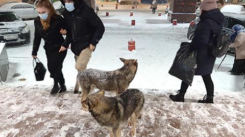 Плодятся волки  из бездомных собак