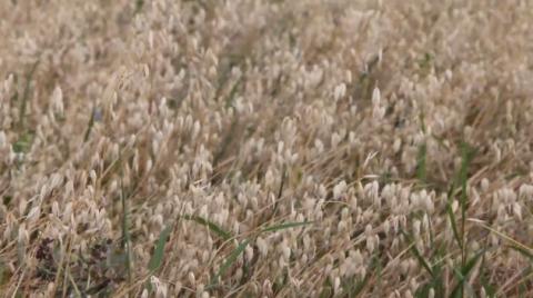 С оптимизмом на хлебной ниве