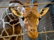 Реквием по жирафу Мариусу