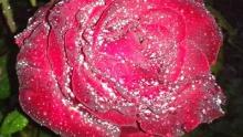 Предназначенная роза