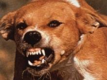 Жителей Юбилейного терроризируют одичавшие собаки