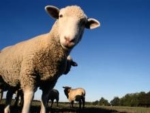 Фермер приобрел на деньги минсельхоза 80 фиктивных овец