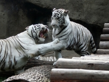 Украинским детям показали белых тигров