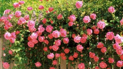 В Саратове из продажи изъяли 410 розовых кустов