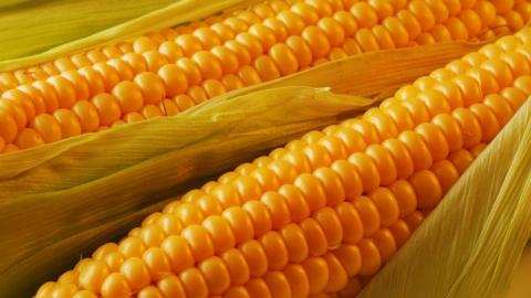 Механизатор и сотрудник МЧС насмерть отравились парами забродившей кукурузы