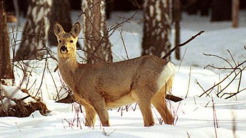 Саратовским охотникам дозволено отстрелить 509 косулей и 47 благородных оленей