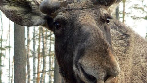 Браконьер понес мягкое наказание за убийство лося у села Пады