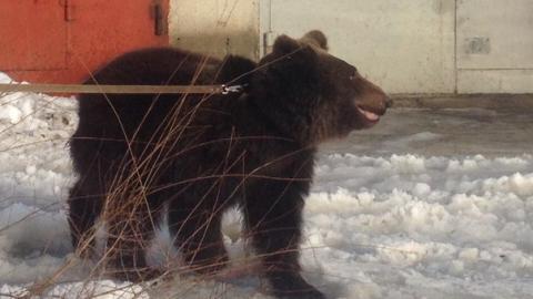 В центре Балакова замечен живой медведь
