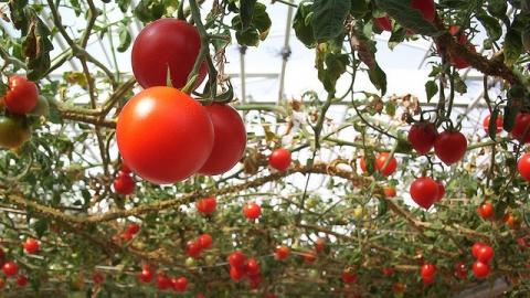 Саратовцам легче, чем соседям, экономить на тепличных овощах