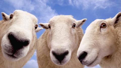 Воры покусились на рюкзак с документами и бело-рыжих овечек