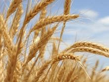 Зерновые запасы области превышают потребность почти в два раза