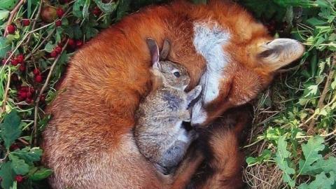 В Саратовской области открывается сезон охоты на лис и зайцев