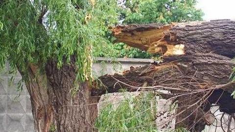Властям Ершова грозит ответственность за гибель женщины под рухнувшим деревом