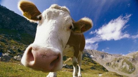 """Сельчанка лишилась всех денег после продажи коровы на """"Авито"""""""