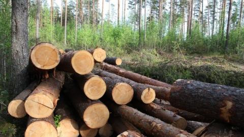 В Вольске из-за незаконной вырубки деревьев возбуждено уголовное дело