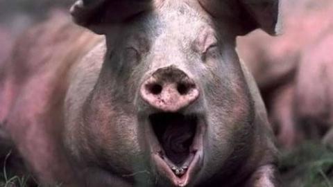 Мужчина получил ожоги 80 процентов тела во время обработки свиной туши