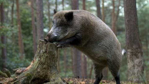 В Саратове могут принять закон в интересах охотников на кабана