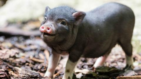 В огромном Карае отменили карантин поафриканской чуме свиней