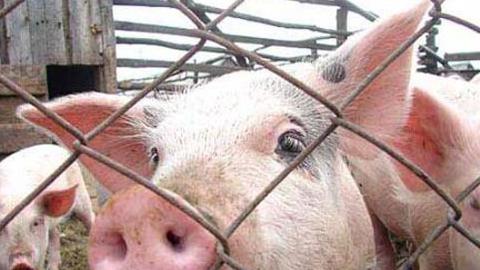 ВОдесской области зафиксировали новые случаи погибели животных отафриканской чумы