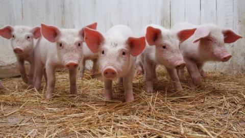 Зауничтоженных свиней саратовским фермерам оплатили 18,9 млн руб.