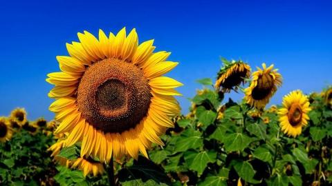 Урожай подсолнечника вСаратовской области достиг 1 млн тонн