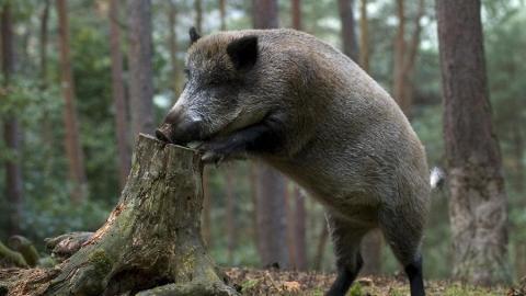 У 2-х диких кабанов подтвердилось наличие вируса чумы свиней