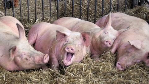 Инвестор потратит 400 млн нацех поубою свиней ипереработке мяса