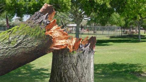 Дерево рухнуло надевочку. Матери удалось отсудить компенсацию
