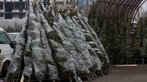 В Саратовской области заготовят более 50 тысяч новогодних елок