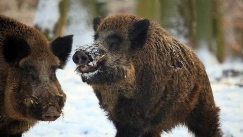 В Саратовской области АЧС распространяется среди дикой природы