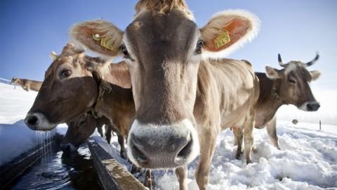 На пруду под лед провалились 50 элитных коров