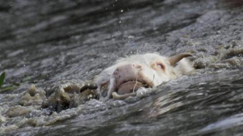 Трупы полсотни утонувших коров достали из воды