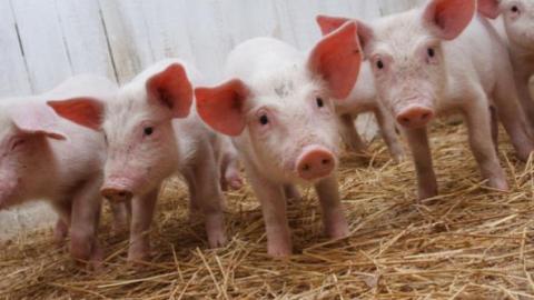 Чуму свиней нашли вДуховницком иФедоровском районах