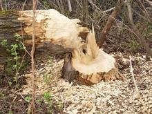 Близ Кумысной поляны вырубили 120 дубов и лип