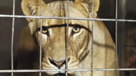 СКпредложил отобрать у собственников напавшего наподростка льва