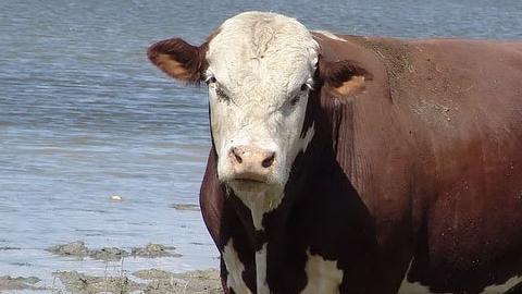 Под Аркадаком пропал безрогий калмыцкий бык