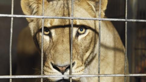 Владельцы львенка Майи исчезли с звериным внеизвестном направлении