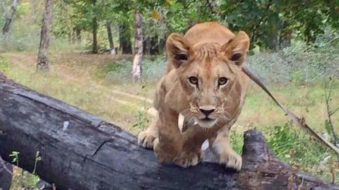 Энгельсскую семью просят отказаться отнапавшей наподростка львицы