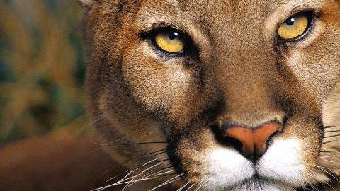 Ветеринары не нашли бешенства у покусавшей подростка львицы