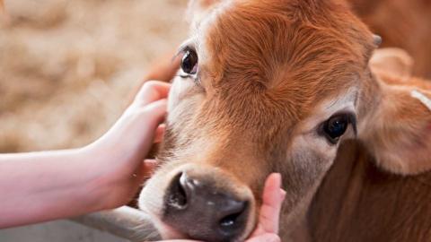 ВСаратовской области зафиксирована вспышка инфекции коров