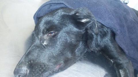 В Саратове живодер изрубил щенка лопатой и оставил его умирать
