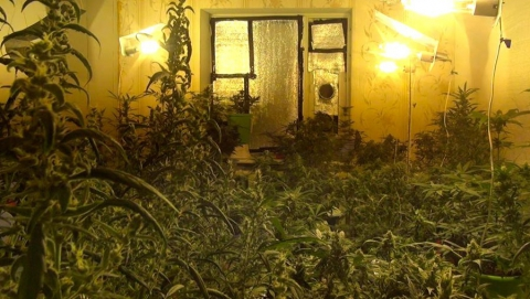 В Саратове двое мужчин на съемной квартире вырастили плантацию конопли