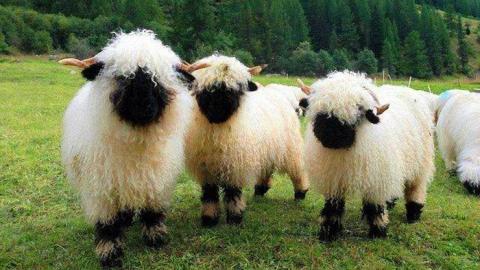 В Дергачевском районе шесть коз и овец заболели бруцеллезом