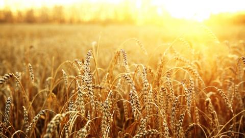 В Саратовской области на десять процентов выросла площадь под посадку зерновых культур