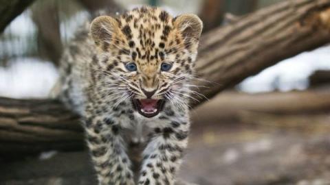Стали известны подробности нападения леопарда на девочку в контактном зоопарке