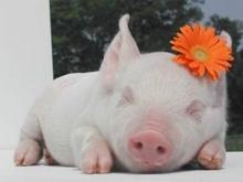 Арестованы пятьдесят балашовских свиней