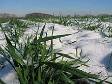 В регионе погибло около четверти посевов озимых