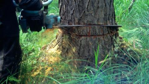 Саратовцы пожаловались на вырубку деревьев у дома на Пензенской