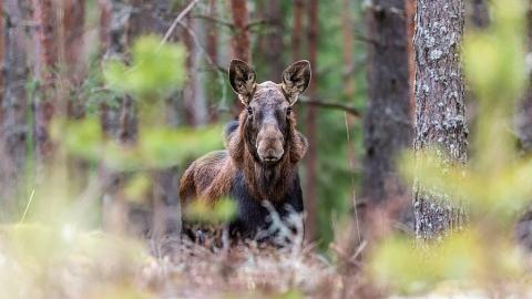 Саратовские браконьеры заплатят заубийство лосихи 680 тыс. руб.